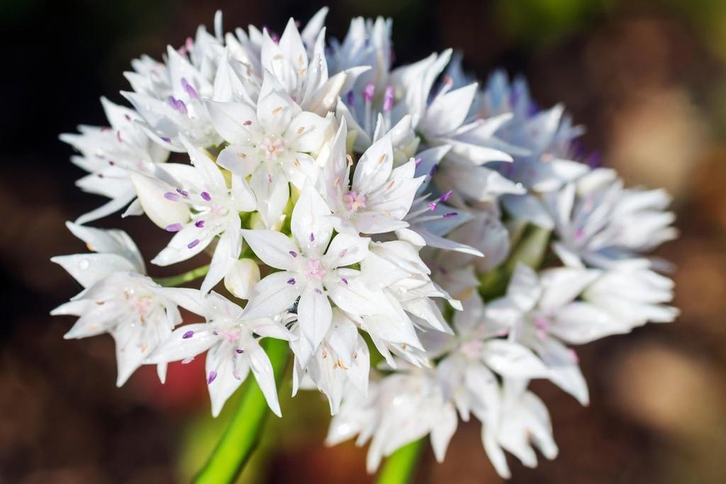 Allium 'Graceful Beauty' from Farmer Gracy