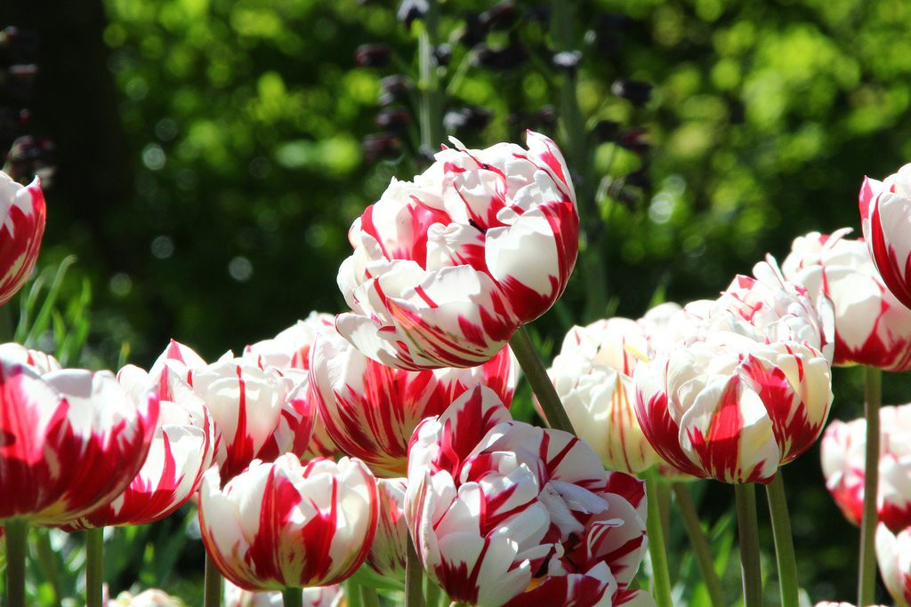 Tulip 'Carnaval De Nice' from Farmer Gracy