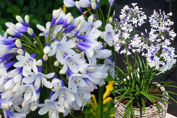 Agapanthus 'Twister' from Hayloft