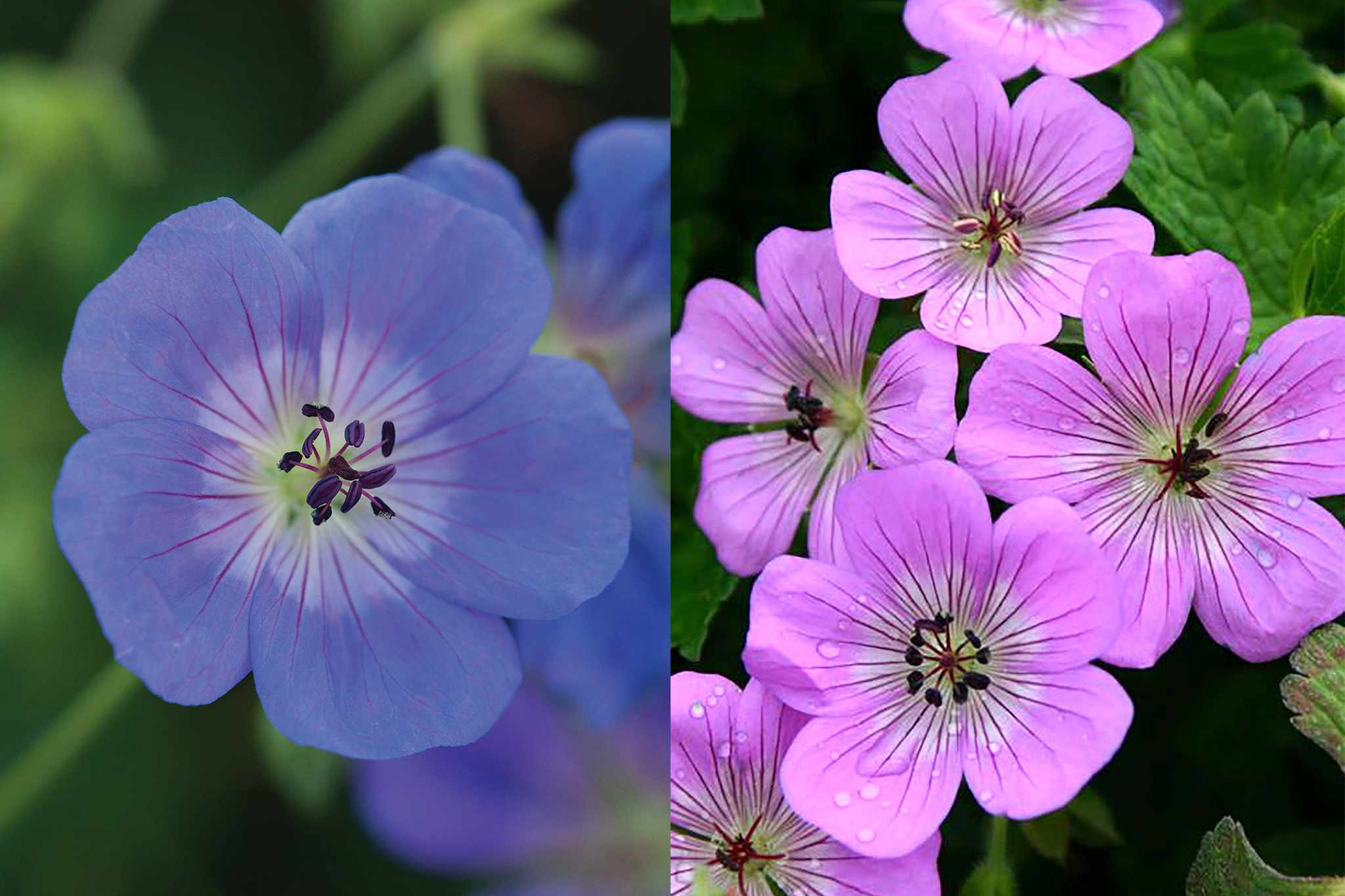 Geraniums 'Rozanne' and 'Bloomtime' from Thompson & Morgan