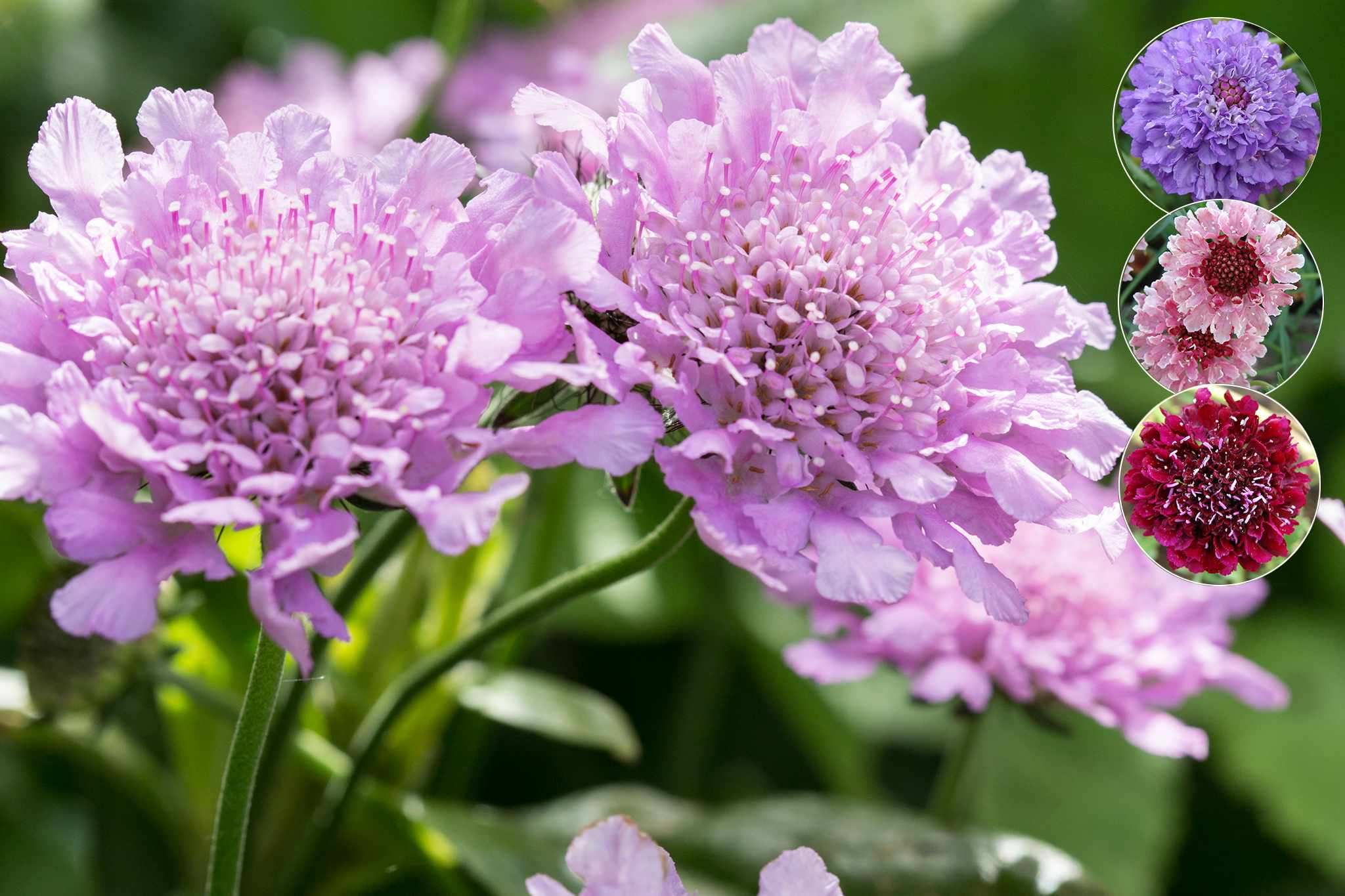 Scabious collection from Thompson & Morgan