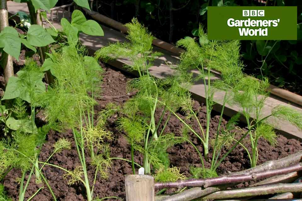 Monty Don growing Florence fennel