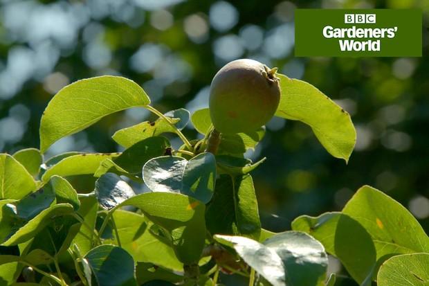 How to prune espalier pears video
