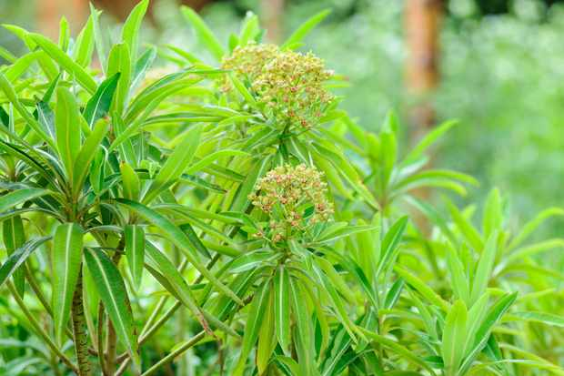 Honey spurge, Euphorbia mellifera