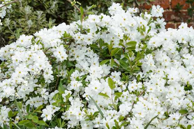Pearl bush, Exochorda x macrantha 'The Bride'