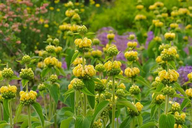 Jerusalem sage, Phlomis russeliana. Photo: Getty Images.