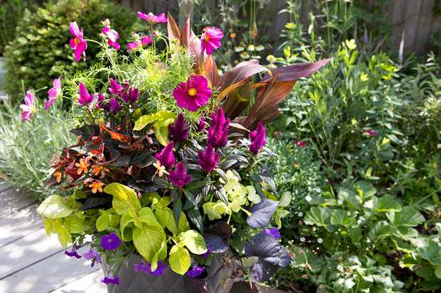 Cosmos, canna and summer bedding container display