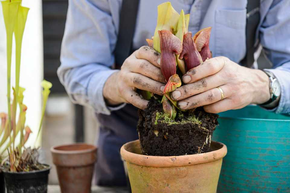 Monty Don potting up a carnivorous sarracenia plant