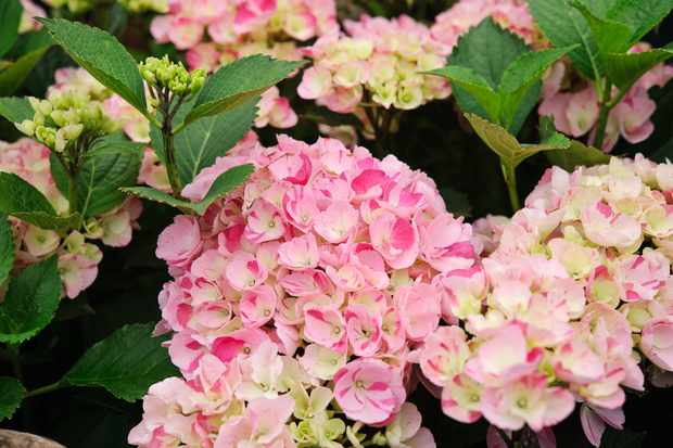 How to take hydrangea cuttings