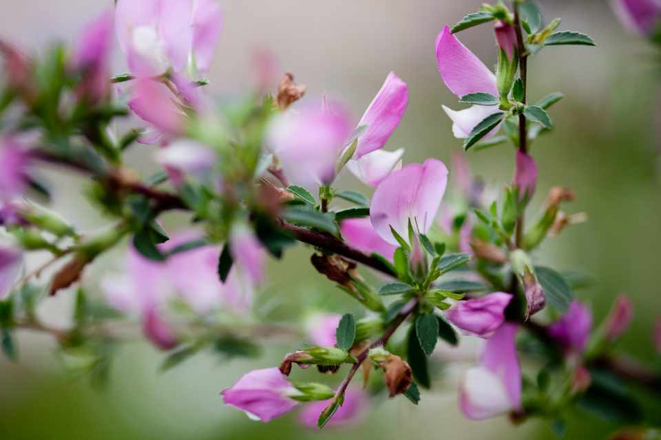 Spiny restharrow, Ononis spinosa in flower