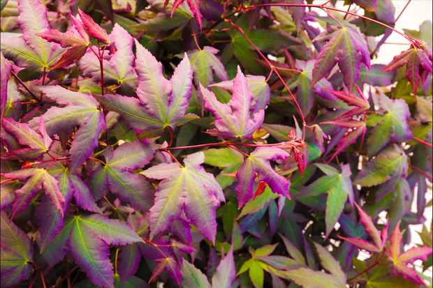 Acer 'Mystic Jewel' from Blooming Direct
