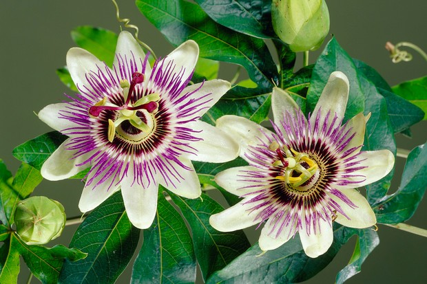 Passion flower collection from Blooming Direct
