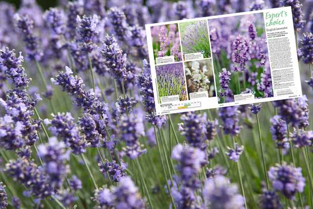 Save 15% on lavender at Crocus