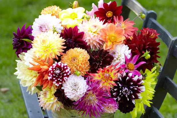 Save on dahlia jumbo mix from Hayloft