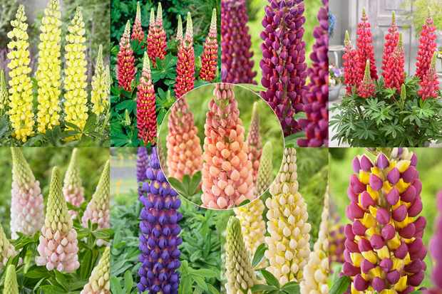 West Country lupin collection from Hayloft