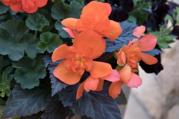 Begonia 'I'Conia Portofino Orange'