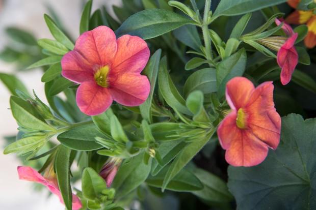 Calibrachoa 'Aloha Classic Hot Orange'