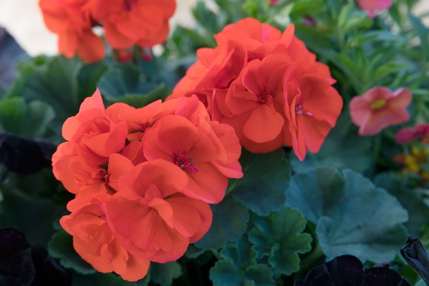 Pelargonium 'Savannah™ Oh So Orange'
