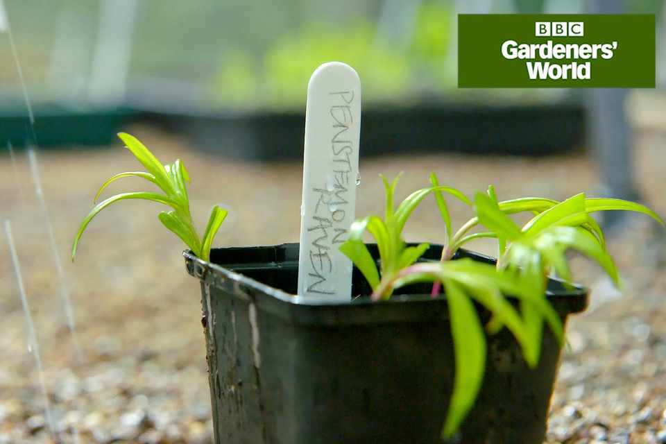How to take penstemon cuttings video