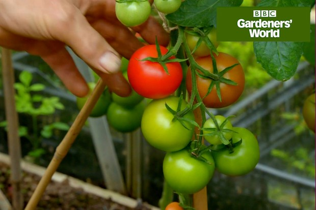 Monty Don caring for tomatoes