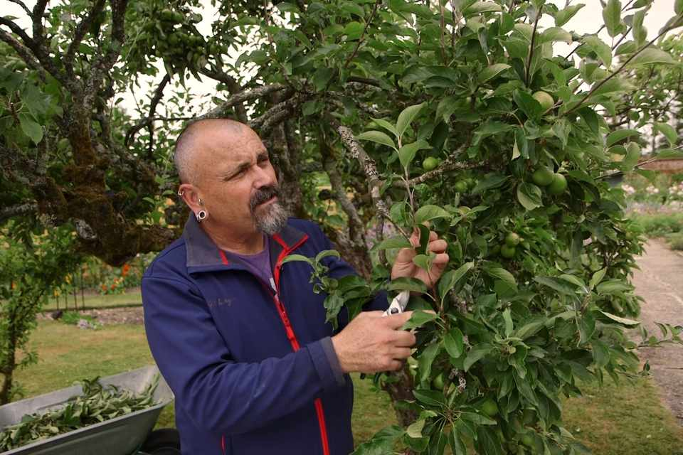 Pruning apple trees in summer