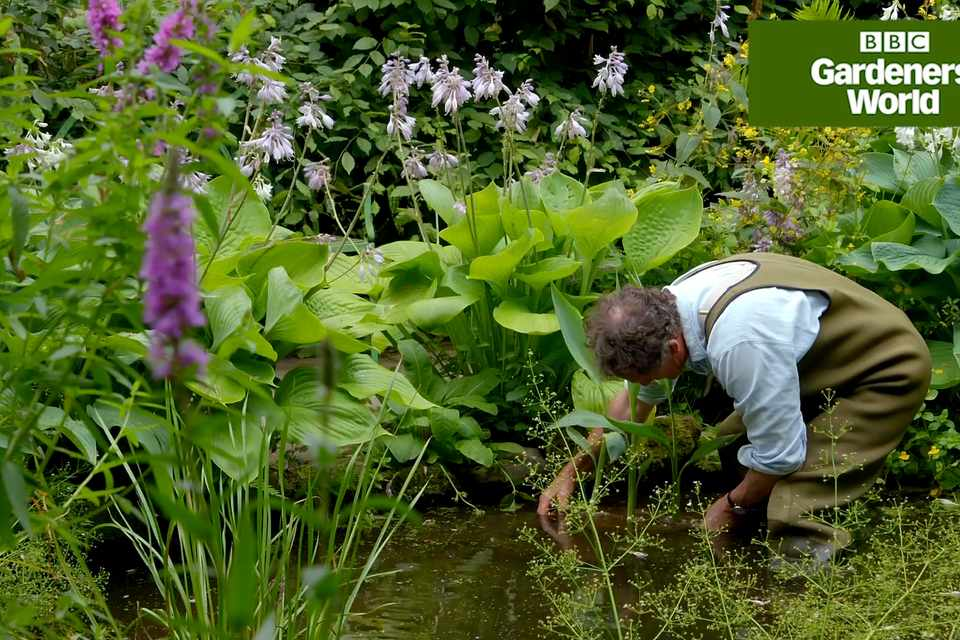 How to plant water cannas