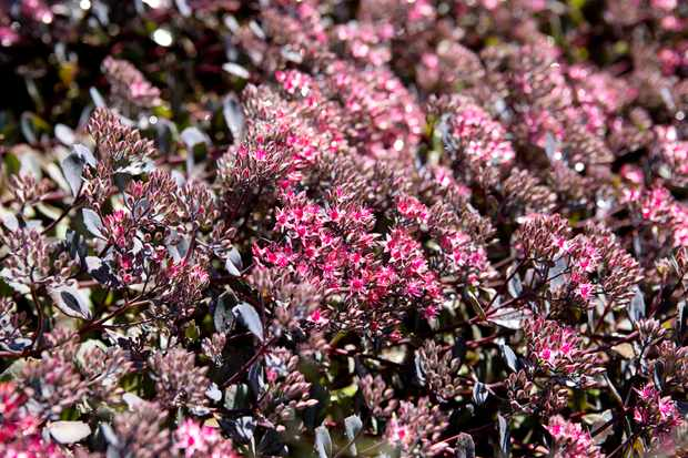Best border sedums to grow