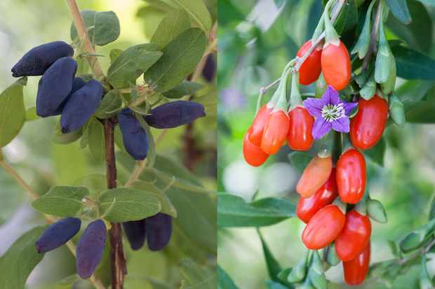 Save on super berry bushes goji & honeyberry from Blooming Direct