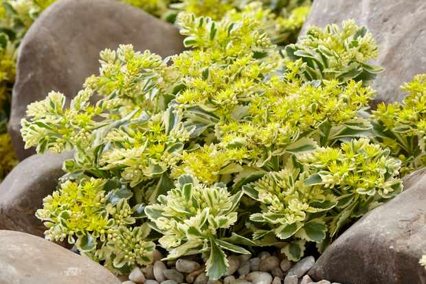 RHS Plant of the Year 2019, sedum 'Atlantis' from Blooming Direct