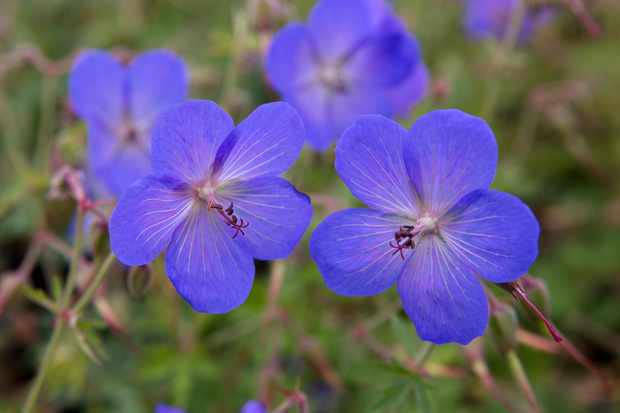 Geranium 'Johnson's Blue' from Crocus