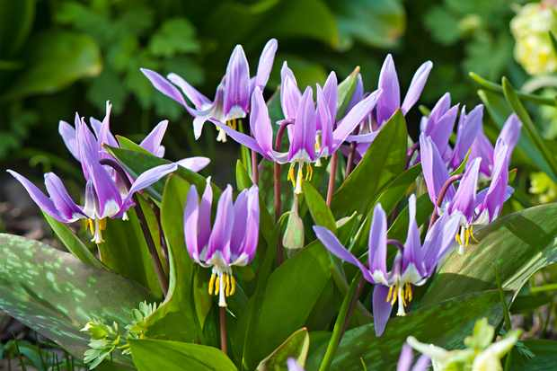 Erythronium 'Lilac Wonder', new variety from Farmer Gracy