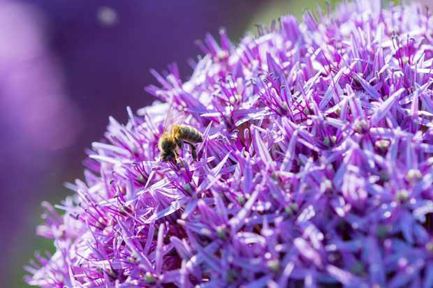 Bee-friendly allium 'Globemaster', from Farmer Gracy
