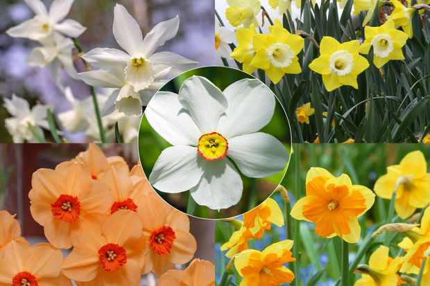 Save 20% on all narcissi at Farmer Gracy