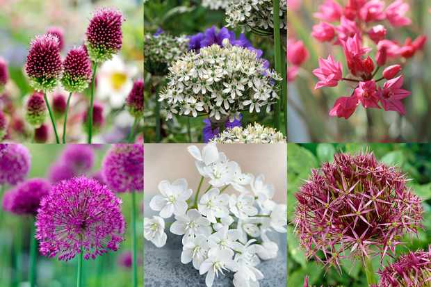 Allium collection from Hayloft