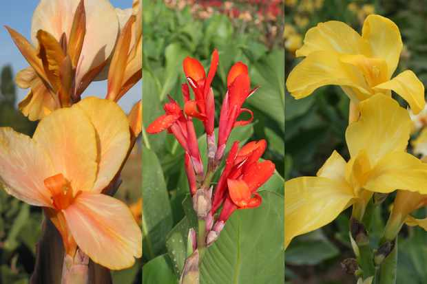 Canna lily, bare-root offer, from Hayloft