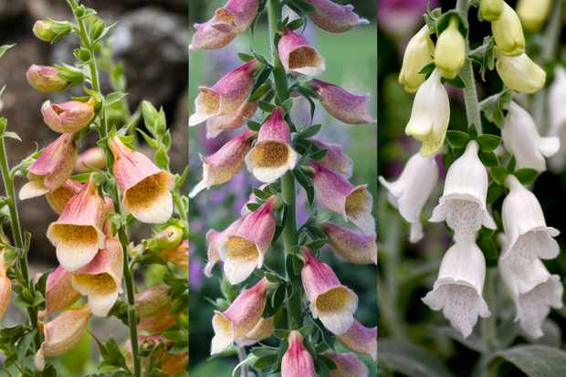Foxglove collection from Hayloft