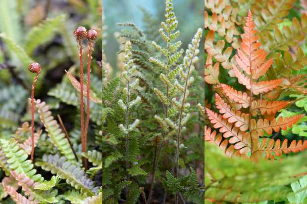 Hardy evergreen fern collection, from Hayloft