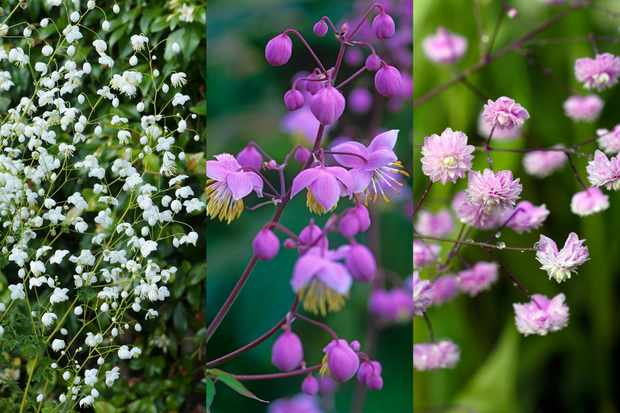 Thalictrum (meadow rue) collection, from Hayloft