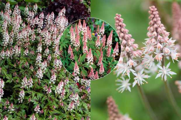 Tiarella collection, from Hayloft