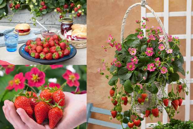 Strawberry collection, from Suttons