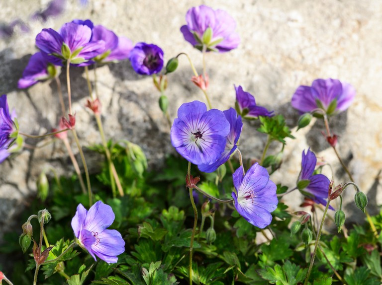 20 Best Ground Cover Plants Bbc, Ground Cover Flowering Plants