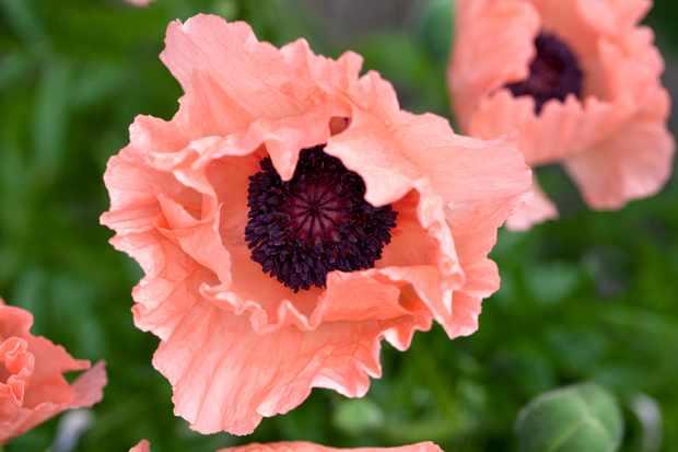 Six poppies to grow - Papaver orientale