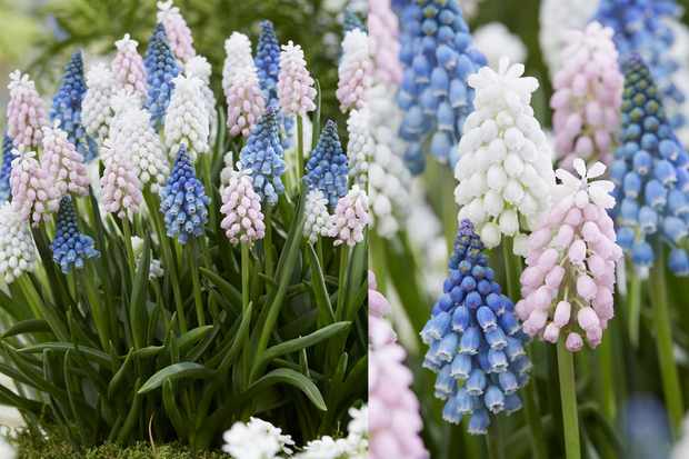 Save on muscari collection at Farmer Gracy