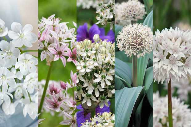 White allium collection from Hayloft