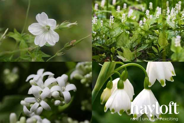 Save on a white-flowering woodland plant collection from Hayloft