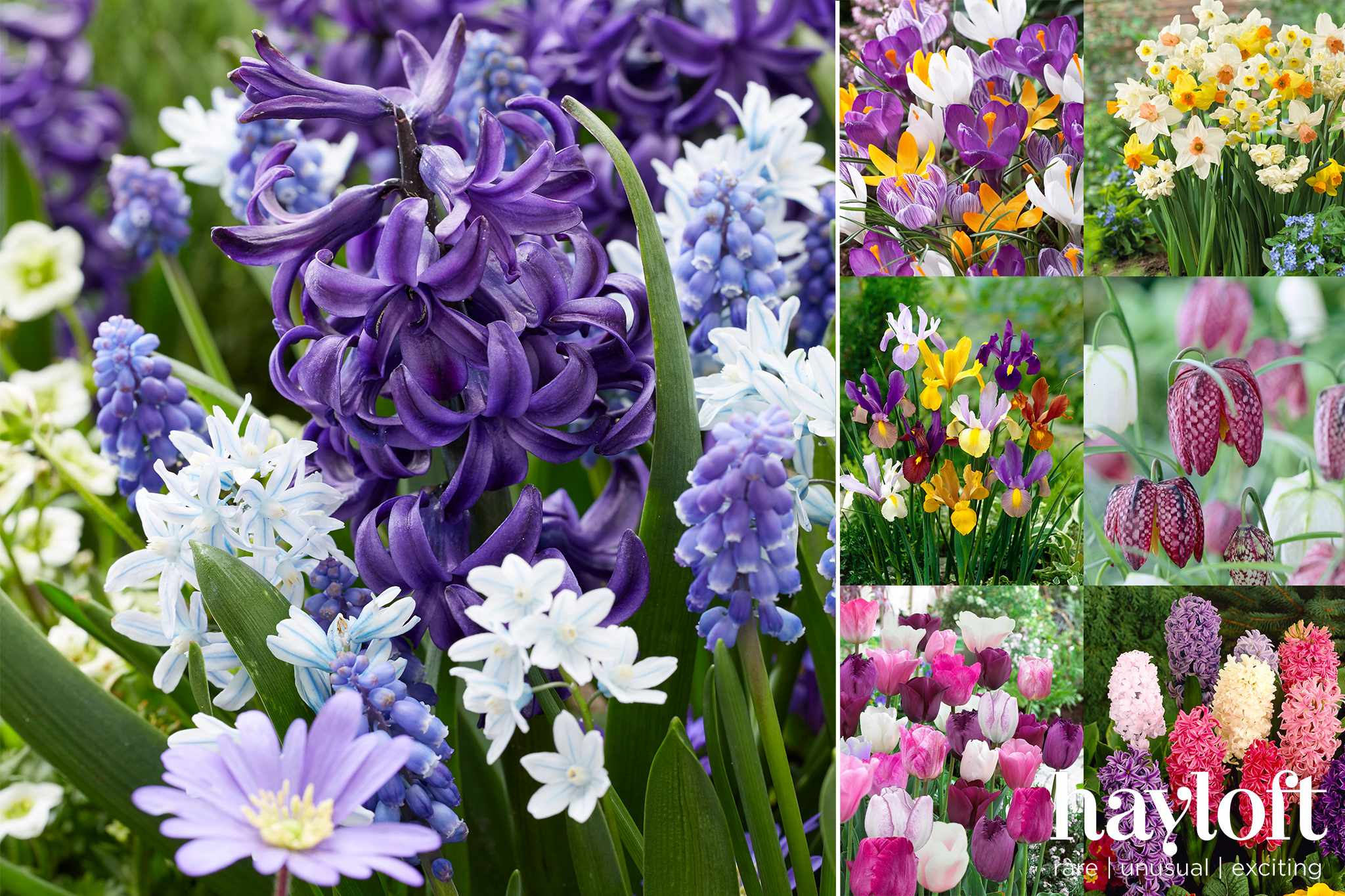 Claim 73 free spring-flowering bulbs from Hayloft when you pay postage