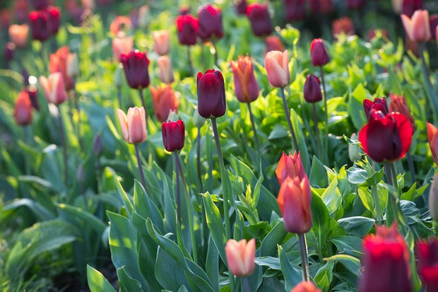 Free postage on tulip collections from Sarah Raven