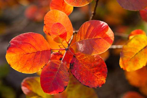 Cotinus autumn colour. Photo: Getty Images.