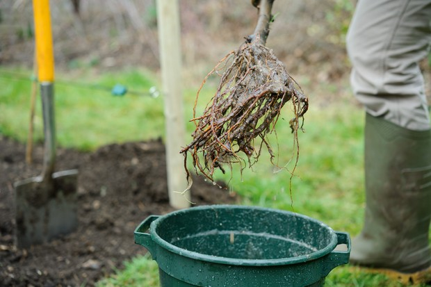 Garden wildlife jobs - plant a bare-root tree