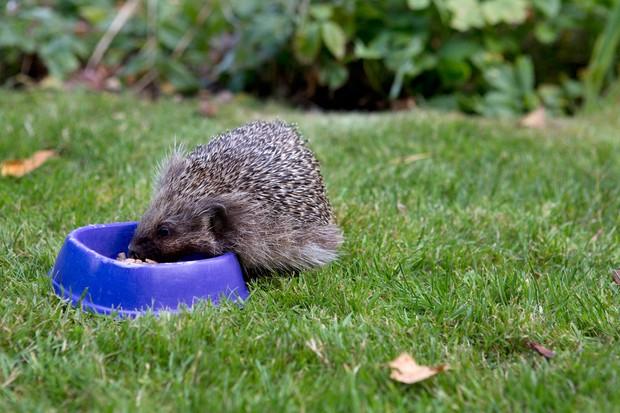 Garden wildlife jobs -feed hedgehogs